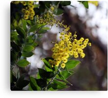 Cootamundra Wattle Canvas Print
