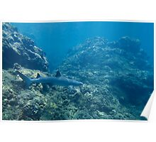 White Tip Reef Shark Patrolling the Napali Coast Poster