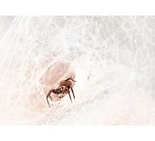 Black house spider, Western Australia  Photographic Print