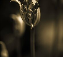 Agapanthus in sepia by alan shapiro