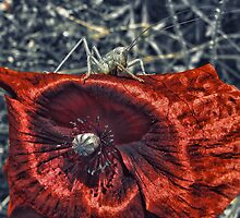 Grasshopper on a poppy by Wendy  Rauw