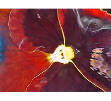 Red Pansy Photographic Print