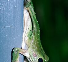 Green Tree Frog - Darwin NT by AllshotsImaging