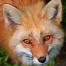 Red Fox by Jim Cumming