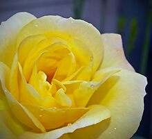 Yellow Roses  by Debbie McGowan CAMMAYC Photography