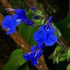 Salvia scutellarioides Kunth by Digitalbcon