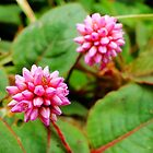 Pink Knotweed - Persicaria capitata by Digitalbcon