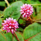 Pink Knotweed - Persicaria capitata by Digitalbcon