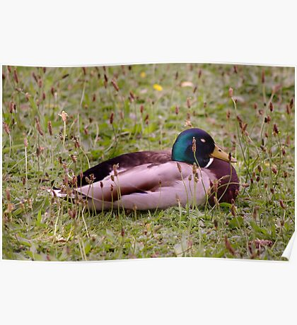 Sleeping Duck Poster