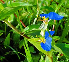 Climbing Dayflower - Commelina diffusa by Digitalbcon