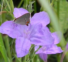 Wild Petunia with Butterfly by Navigator