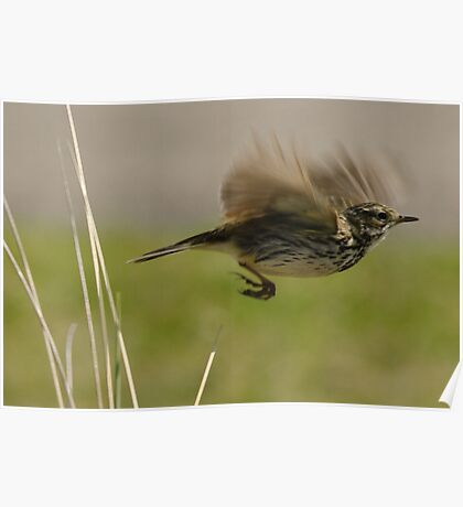 Flying Meadow Pipit Poster