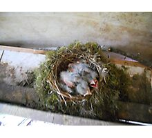 Hungry Baby Birds Photographic Print