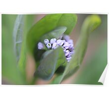 Emerging Virginia Bluebells Poster