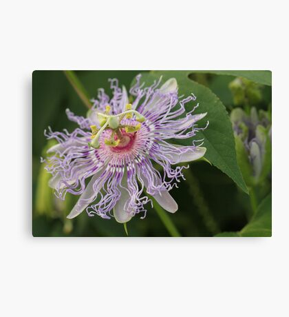 Passion Flower Macro Canvas Print