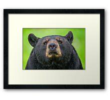 Bear Stare Framed Print