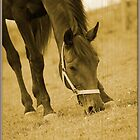 Thoroughbred mare grazing in the field by olivera kenic