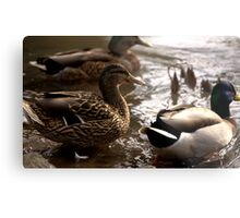 Ducks in Eugene Metal Print