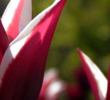 Tulips 7 Sticker