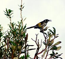 Singing in the Rain (New Holland Honeyeater) by waxyfrog