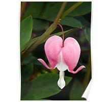 Pink Bleeding Heart Flower Poster