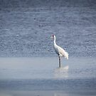 Adult Whooping Crane 2015-1 by Thomas Young