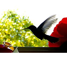 Hummingbird Series 11 Photographic Print