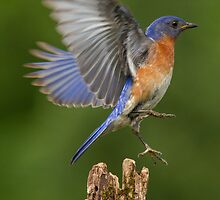 Eastern Bluebird Take Off by Bill McMullen
