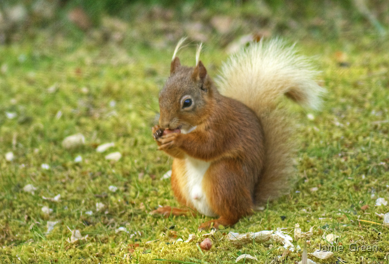 Little Willie Nibbles His Nuts by Jamie  Green
