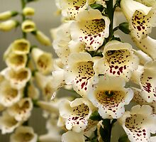Foxgloves and Bumblebee by Kerry McQuaid