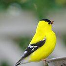 Beautiful Male Finch by Karen Checca