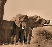 IN SEPIA- SENIOR COMPANY - THE AFRICAN ELEPHANT -Loxodonta africana by Magriet Meintjes