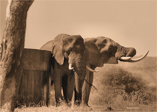 IN SEPIA- SENIOR COMPANY - THE AFRICAN ELEPHANT -Loxodonta africana by Magaret Meintjes