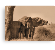 IN SEPIA- SENIOR COMPANY - THE AFRICAN ELEPHANT -Loxodonta africana Canvas Print