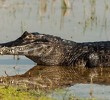 A grand Caiman on Reflection by photograham