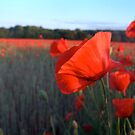 Poppy among Poppies by troffle24