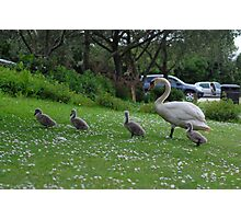 Mother Swan and Cygnets Photographic Print