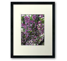 Japanese cherry blossom tree Framed Print