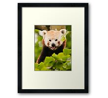 Red panda (Ailurus fulgens) Framed Print