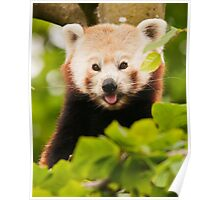 Red panda (Ailurus fulgens) Poster