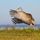 Juvenile Sandhill Crane Wingflap. by Daniel Cadieux