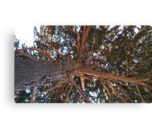 Mighty Cypress Canvas Print