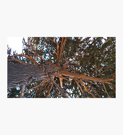 Mighty Cypress Photographic Print