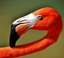 A Flamingo by Eileen Brymer