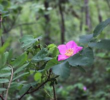 Wild Rose by Jim Sauchyn