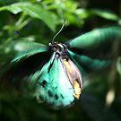 Jade Butterfly by Jason Dymock Photography