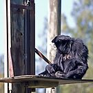 Siamang Mother by miroslava