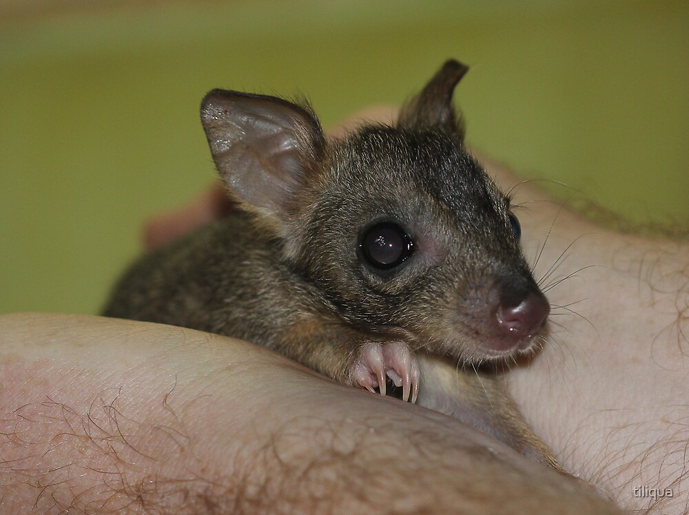 Baby brush tailed bettong aka Woylie in WA Captive by tiliqua