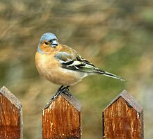 Chaffinch On A Fence by VoluntaryRanger