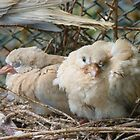 Bob... I Can&#x27;t Wait To Grow Up!! - Baby Collard Doves - NZ by AndreaEL